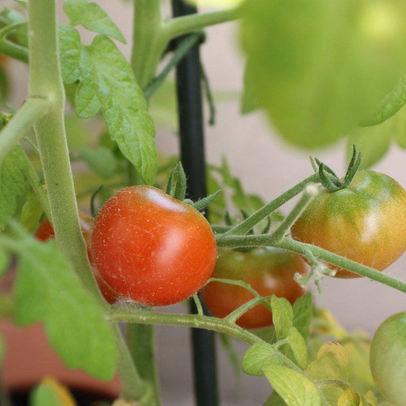 tomate-balkon